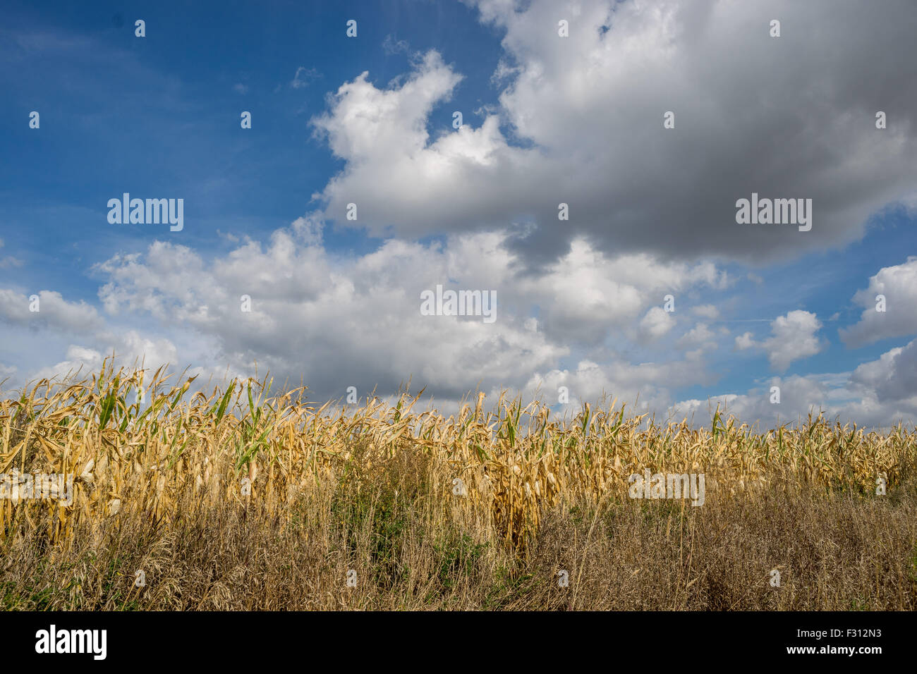 White cumulonimbus clouds in the blue sky over dry corn fields Lower Silesia Poland - Stock Image