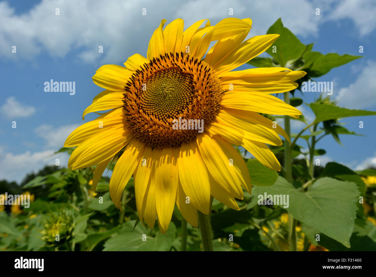 A sunflower stands out from the rest of the sunflowers in the field on a beautiful warm summer day. - Stock Image