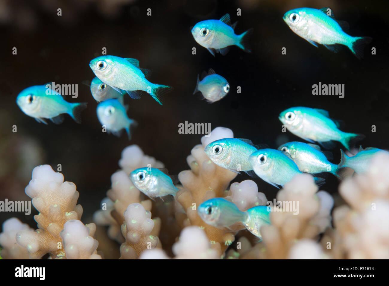 Juvenile Bluegreen Puller in Acropora Hard Coral - Stock Image