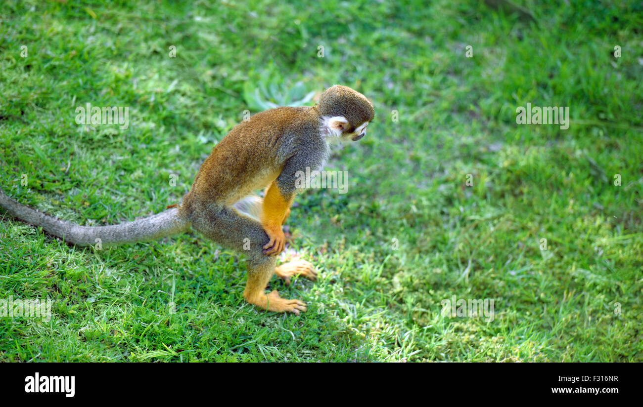 Squirrel monkey standing in a funny pose looking for something - Stock Image