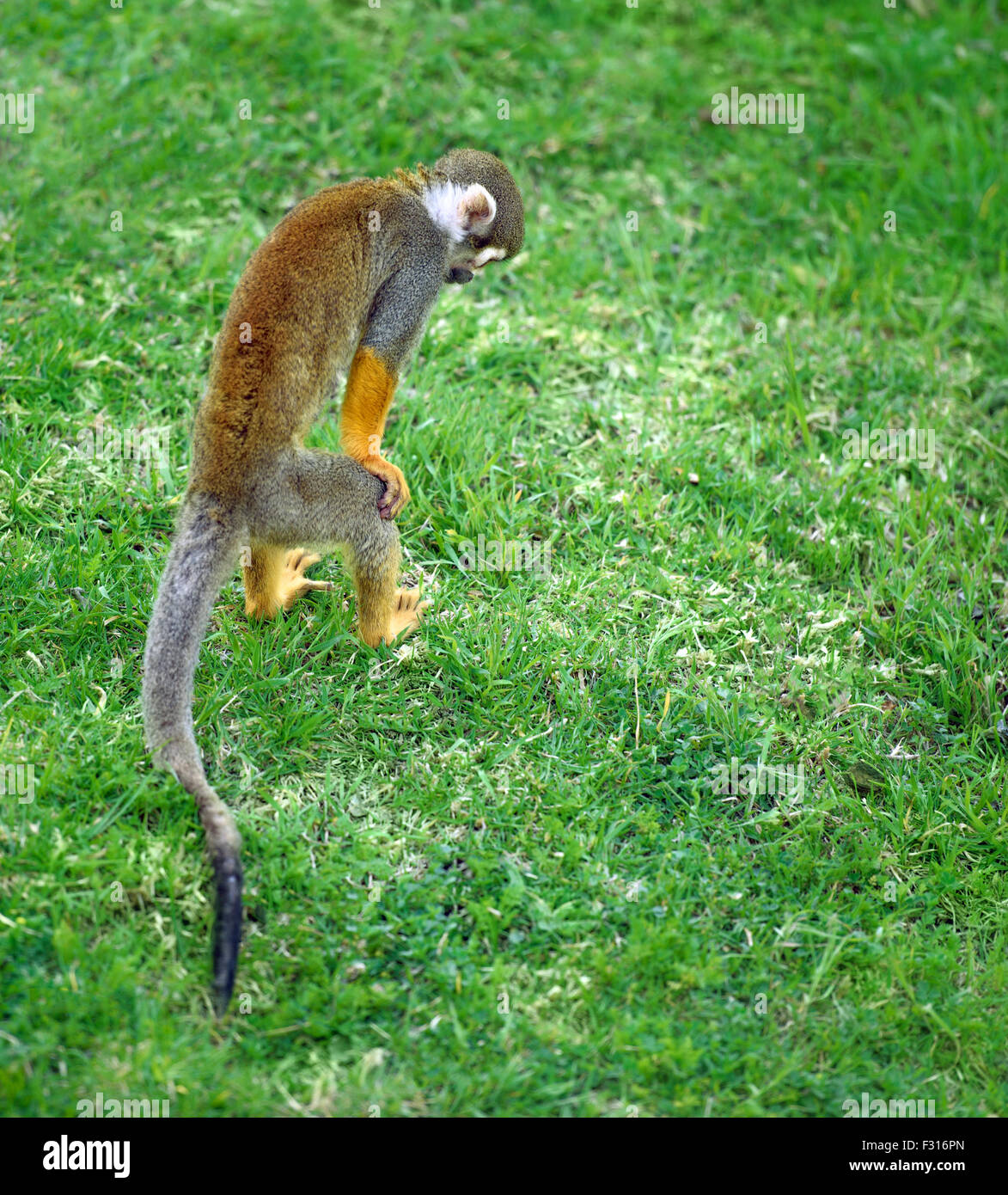 Squirrel monkey searching for something in the grass - Stock Image