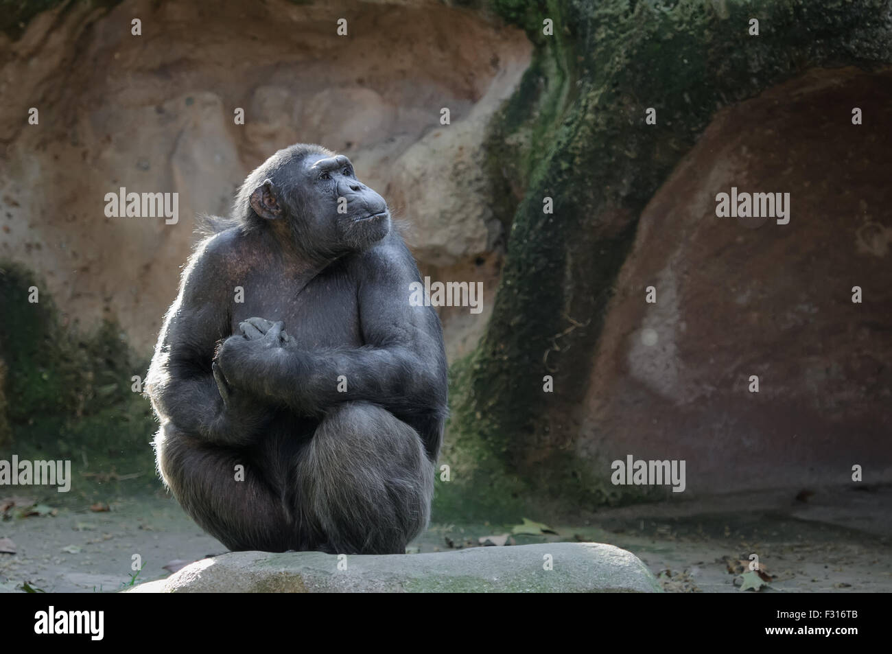 Chimpanzee sitting with proud and important look - Stock Image