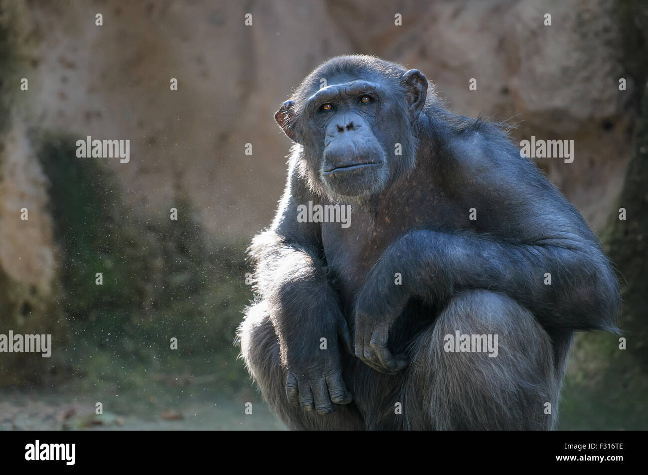 Chimpanzee looking at something with extreme attention - Stock Image