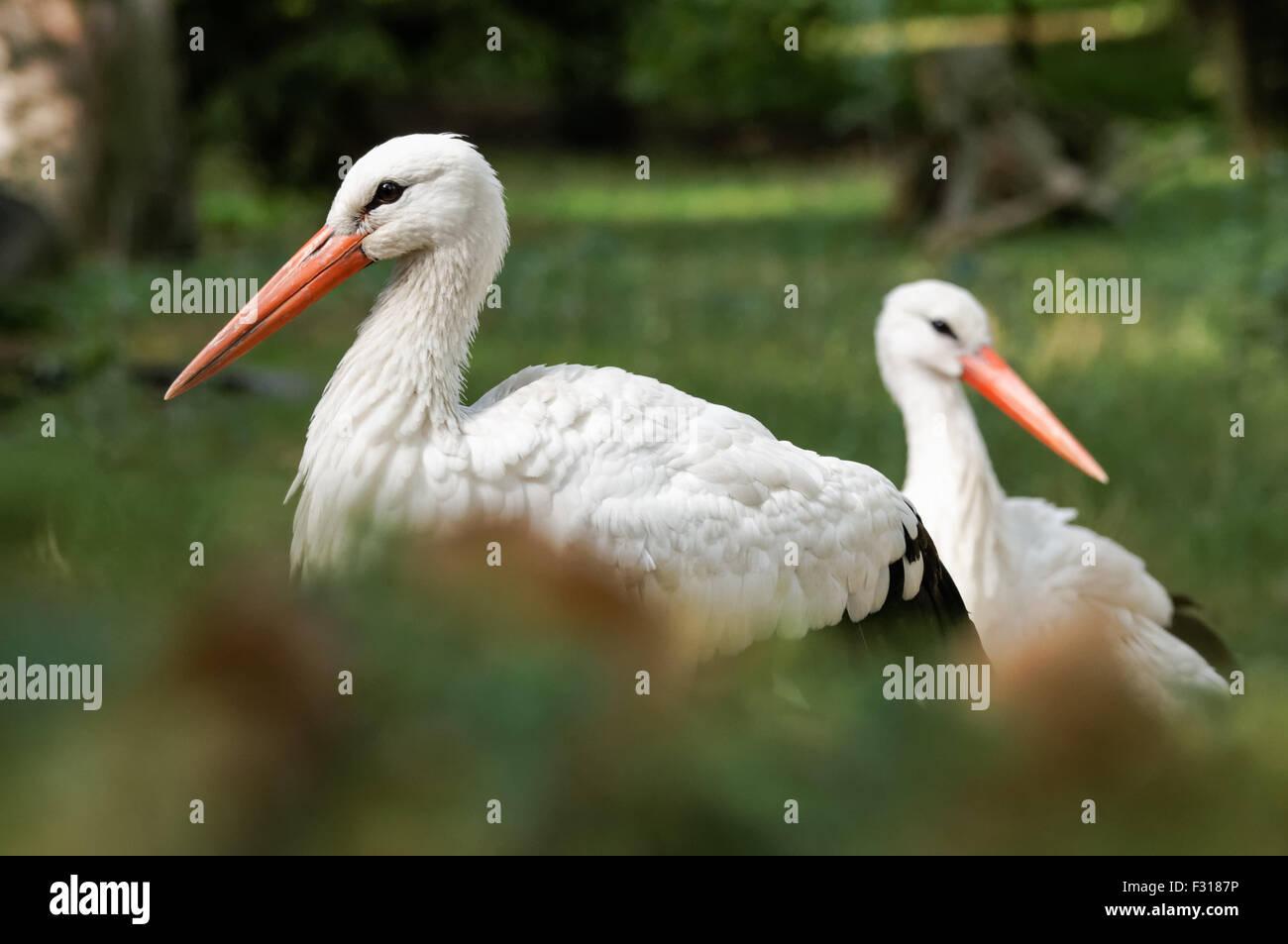 The white stork (Ciconia ciconia) - Stock Image