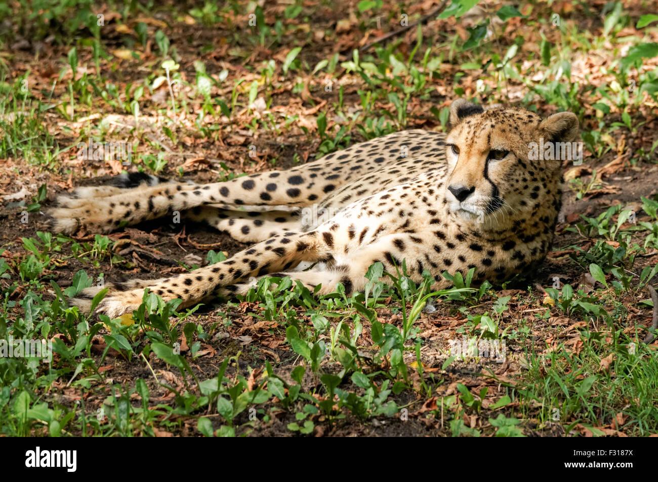 The cheetah (Acinonyx jubatus) at Warsaw Zoo, Poland - Stock Image