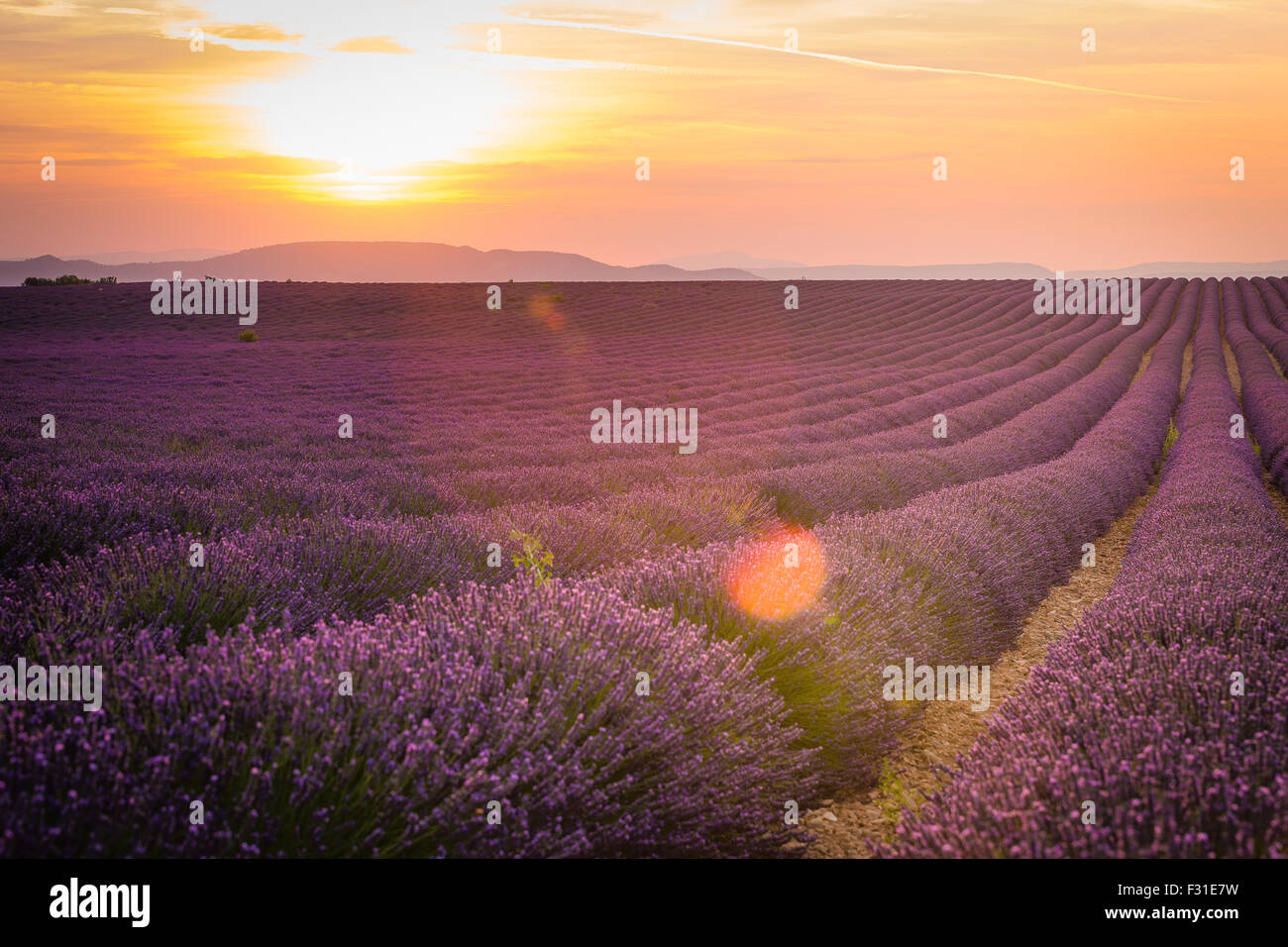 Provence, Valensole Plateau, Lavender field in bloom Stock Photo