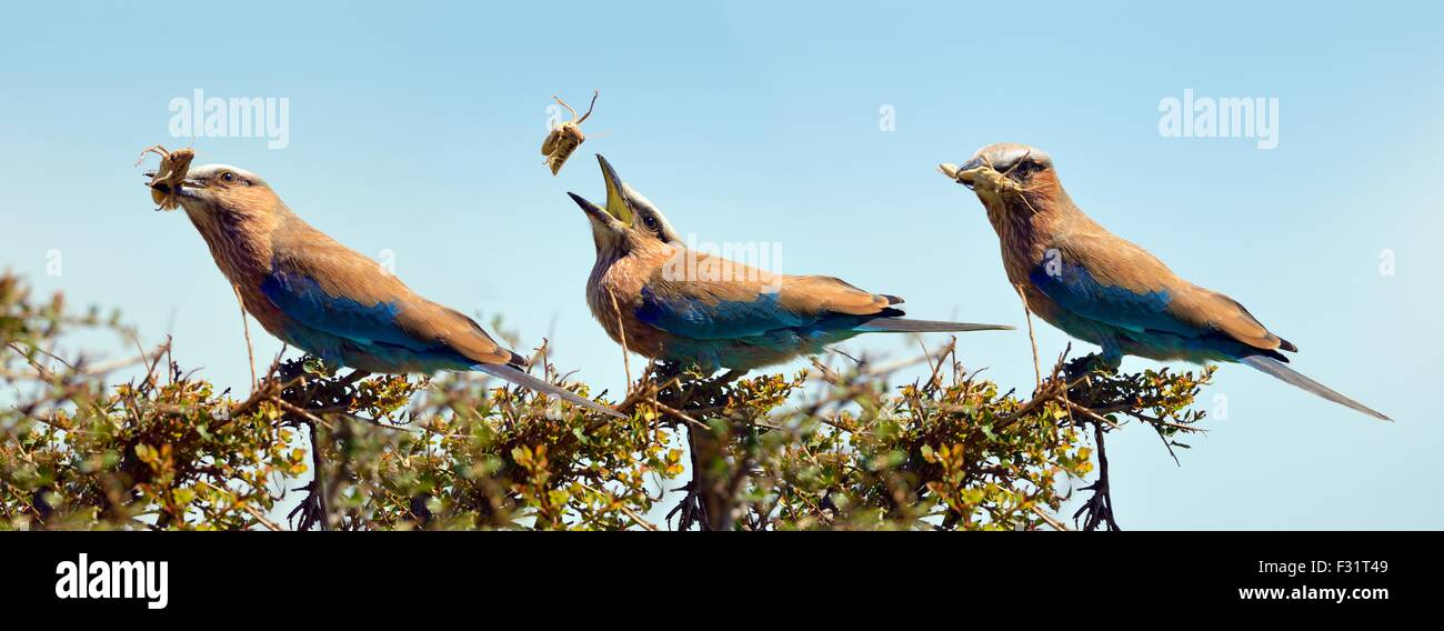 Purple roller (Coracias naevia), flipping a grasshopper into its mouth, photo sequence, Maasai Mara National Reserve - Stock Image