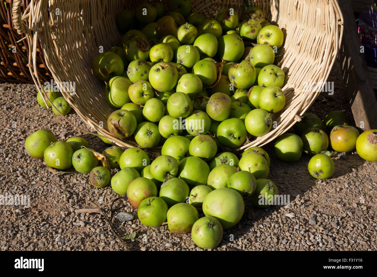Newly picked English apples in a basket. - Stock Image
