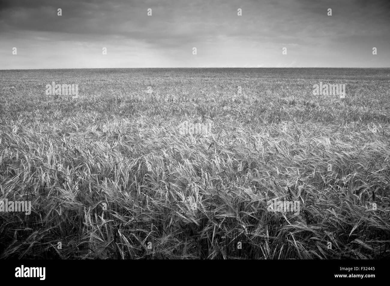 Wheat field, black and white - Stock Image