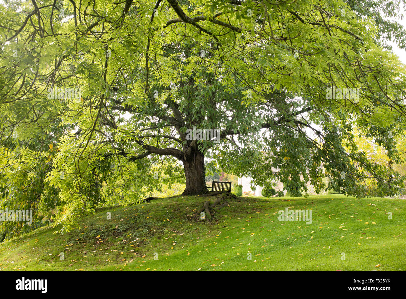 Carpinus betulus. Hornbeam tree in Broad Campden, Gloucestershire, Cotswolds, England - Stock Image
