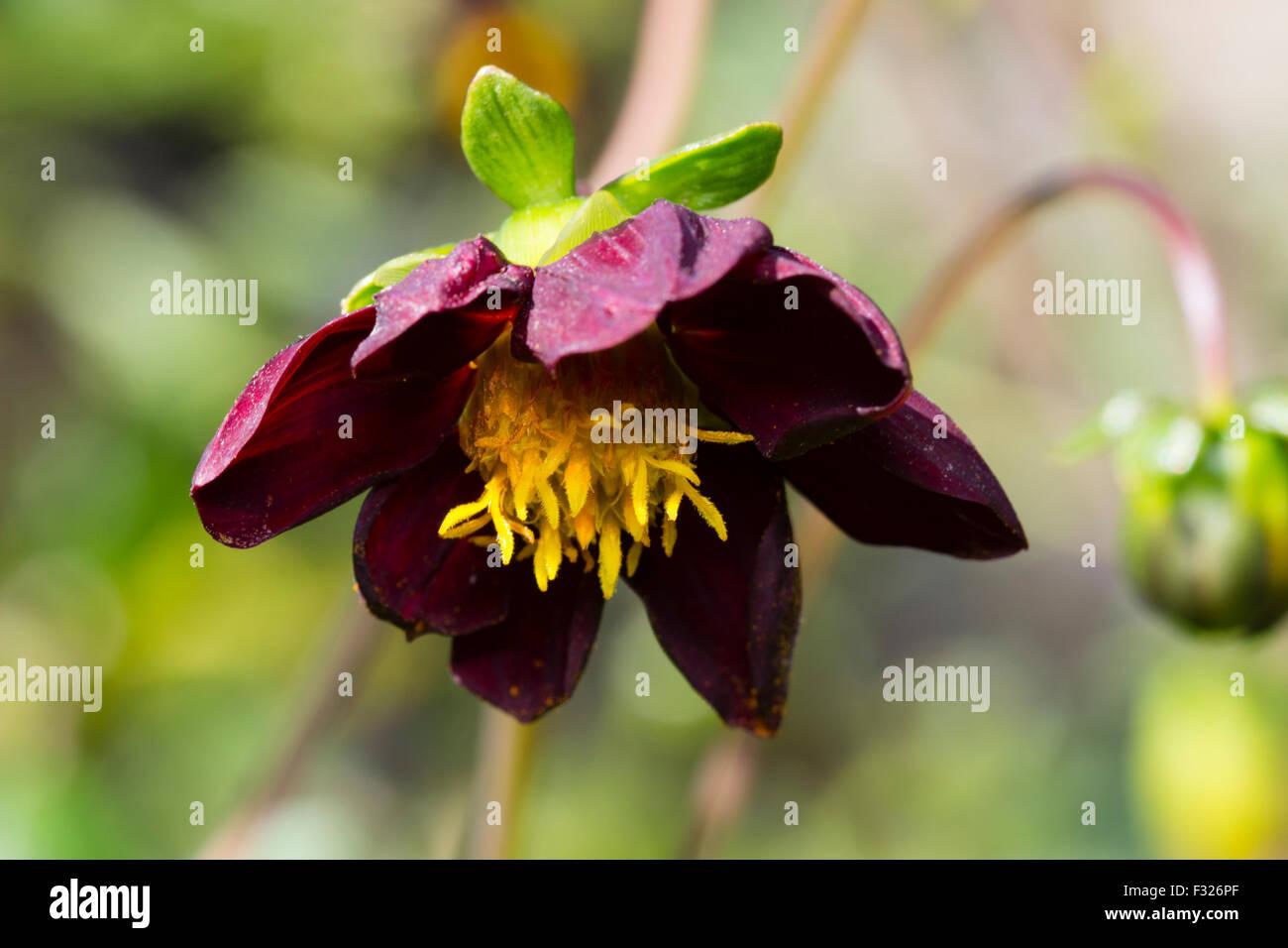 Nodding September flower of a natural hybrid, Dahlia x Cosmos 'Mexican Black' - Stock Image