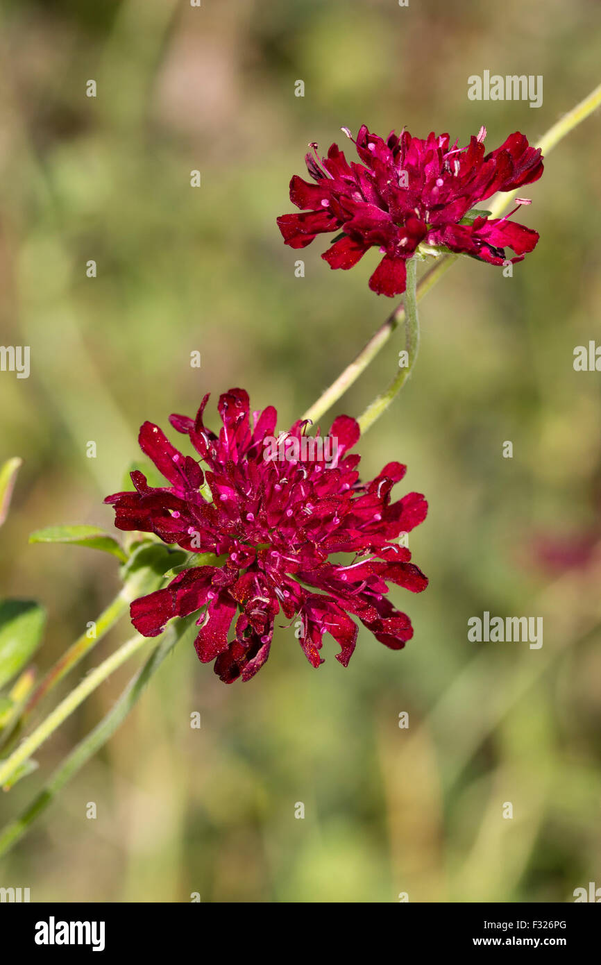 Red flowers of the perennial Macedonian scabious, Knautia macedonica - Stock Image