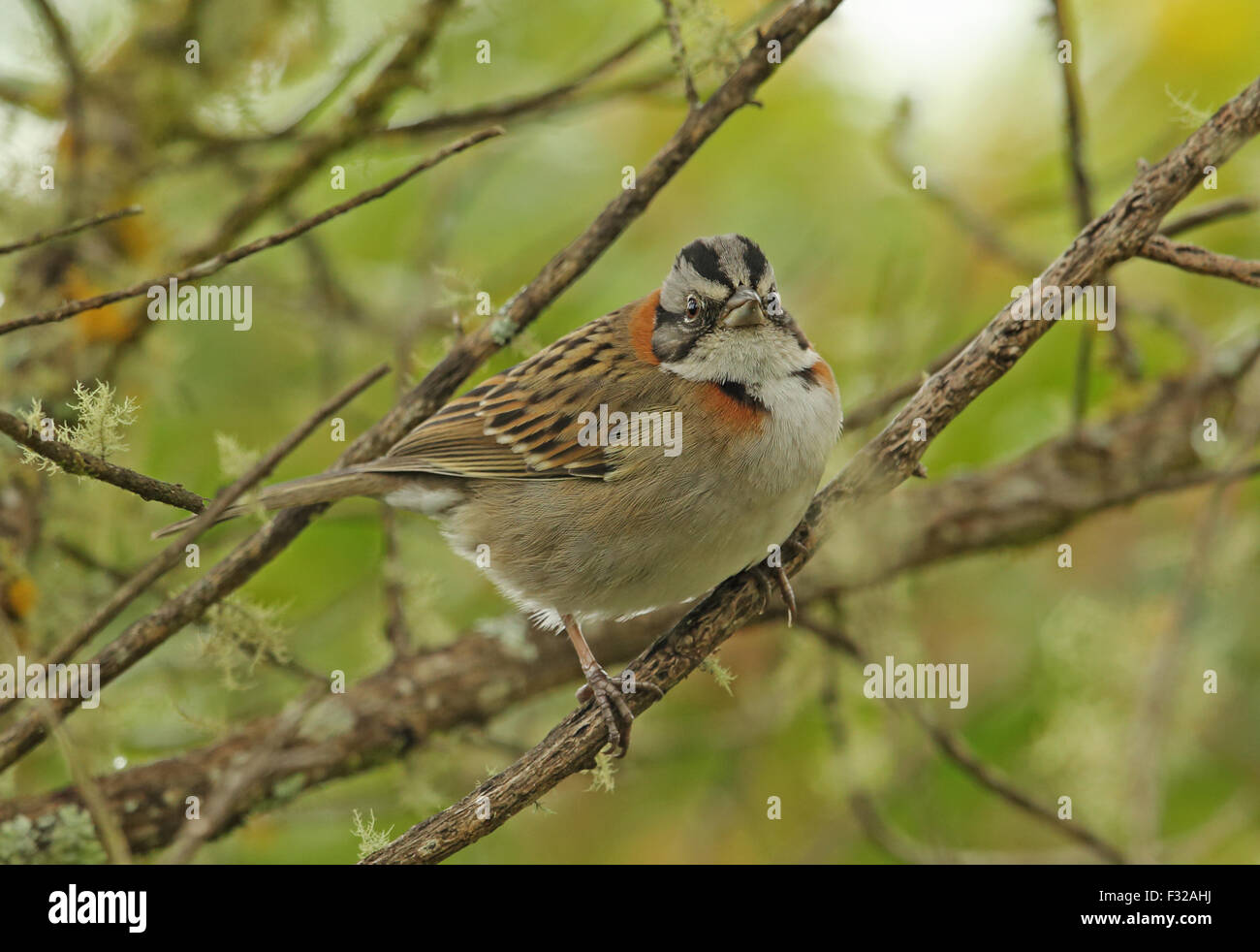 Rufous-collared Sparrow (Zonotrichia capensis subtorquata) adult, perched on twig, Atlantic Rainforest, Pico da Stock Photo