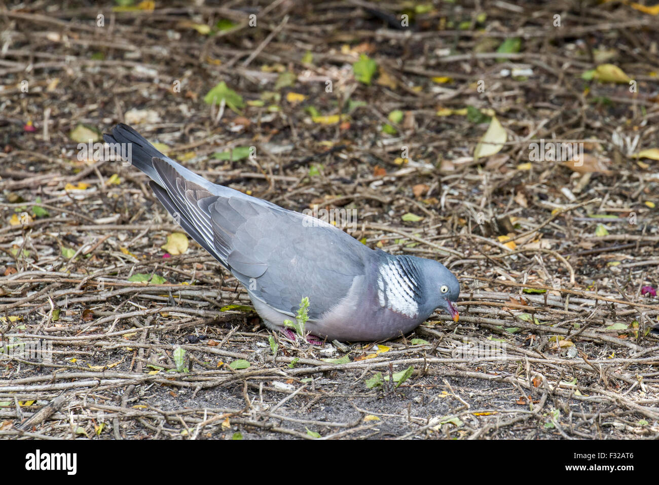Male Wood Pigeon courtship display - Stock Image