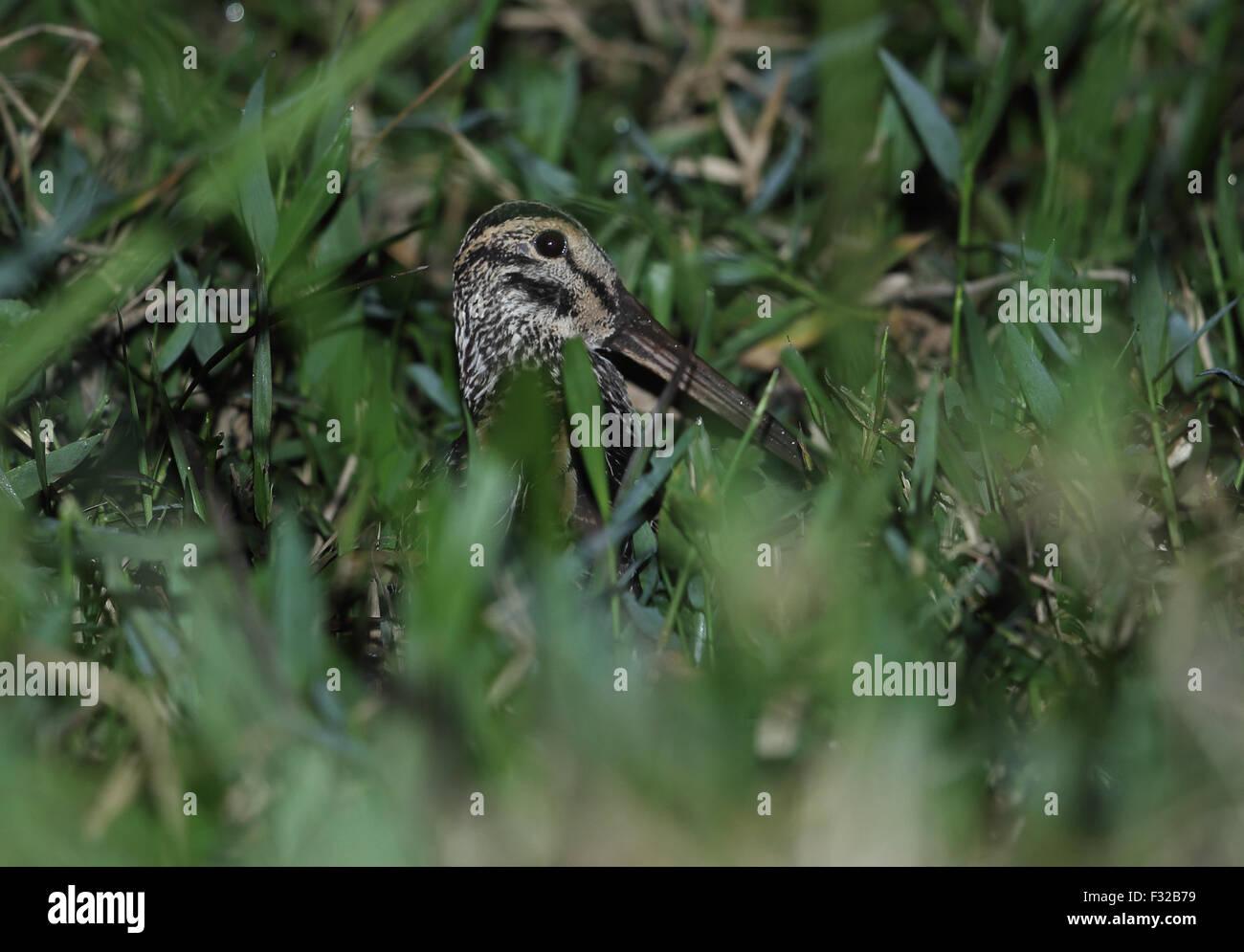 Giant Snipe (Gallinago undulata gigantea) adult, standing in boggy grassland at night, Atlantic Rainforest, Reserva Stock Photo
