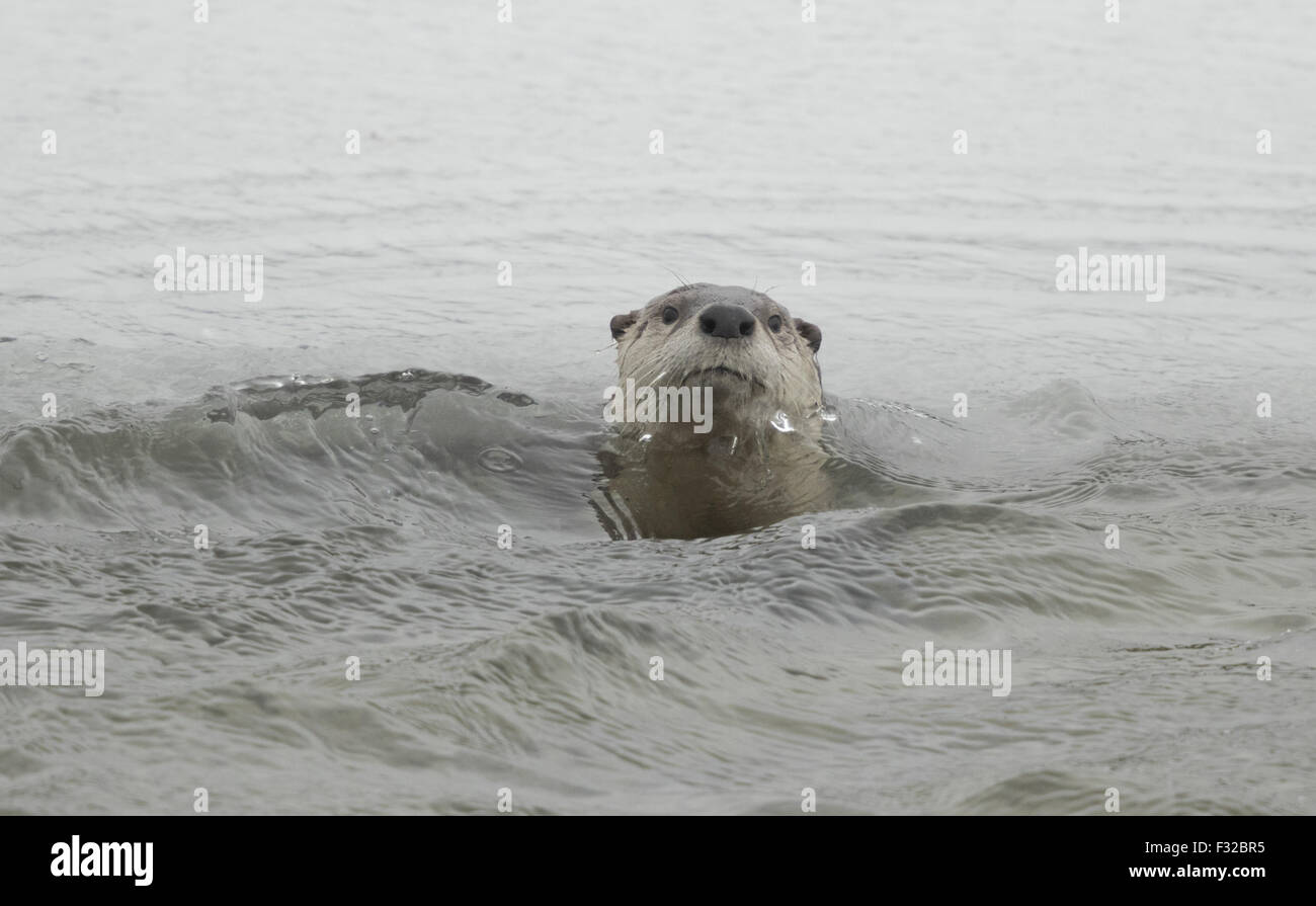 North American River Otter (Lontra canadensis) adult, swimming in river, Yellowstone N.P., Wyoming, U.S.A., February Stock Photo