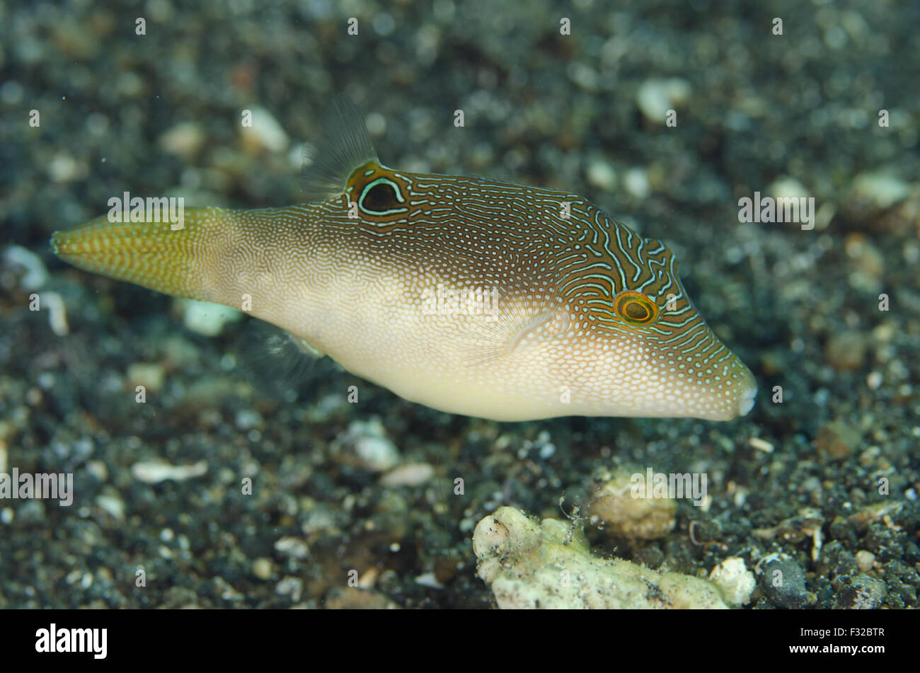 Compressed Toby (Canthigaster compressa) adult, swimming over seabed, Serena Besar, Lembeh Straits, Sulawesi, Greater - Stock Image