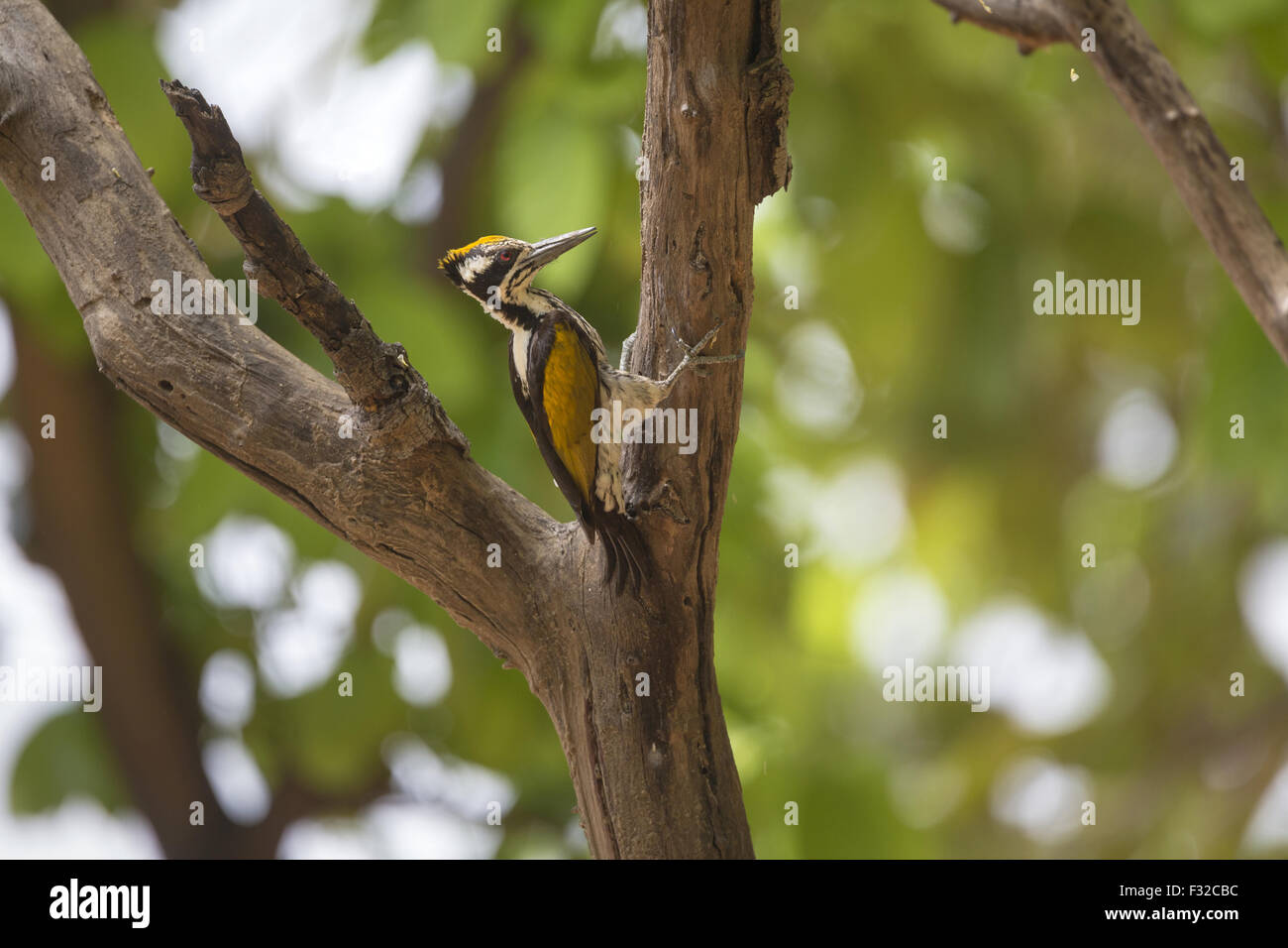White-naped Woodpecker (Chrysocolaptes festivus) adult female, clinging to branch, Kanha N.P., Madhya Pradesh, India, - Stock Image