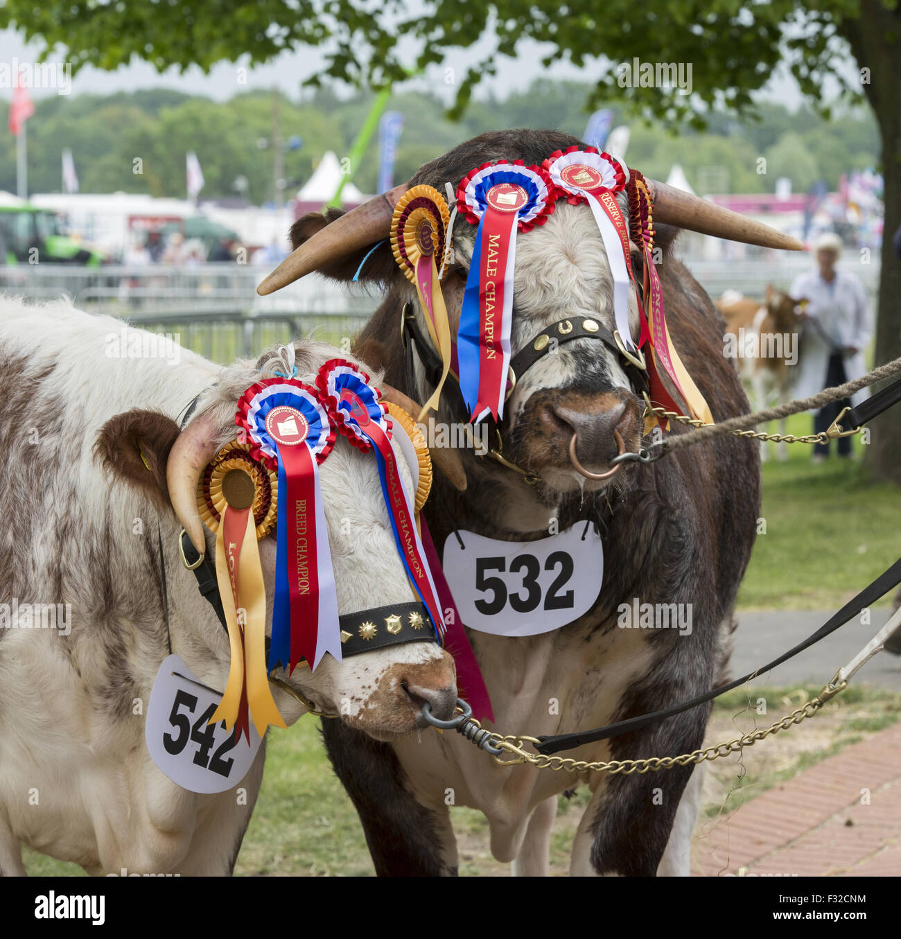 Domestic Cattle, Longhorn bull and cow, champions with rosettes, Three Counties Show, Malvern, Worcestershire, England, - Stock Image