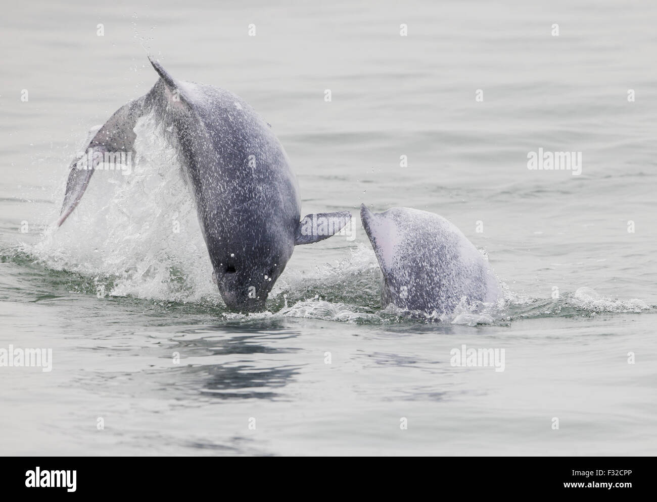 Indo-Pacific Humpback Dolphin (Sousa chinensis chinensis) two juveniles, leaping from water, Hong Kong, China, February - Stock Image