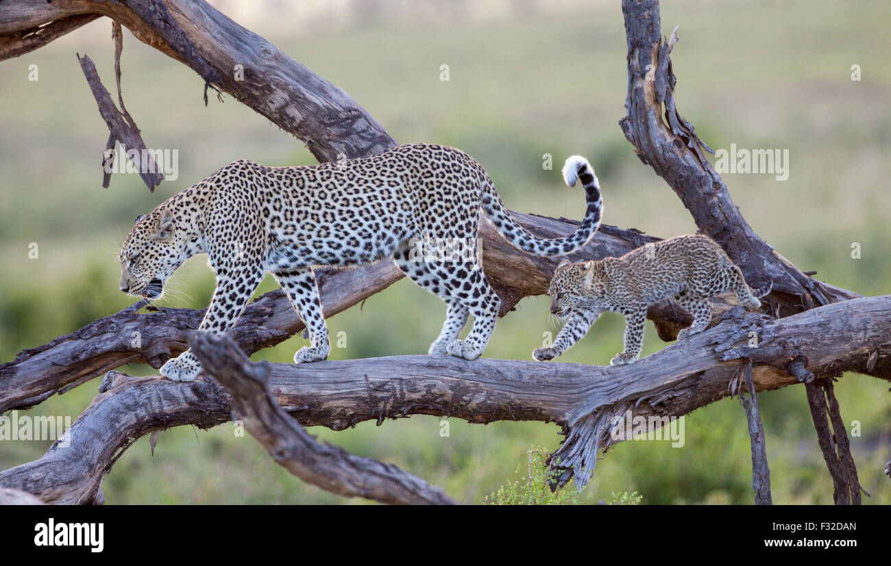 Mother and baby leopard walking in step along a weathered tree in Serengeti National Park, Tanzania - Stock Image