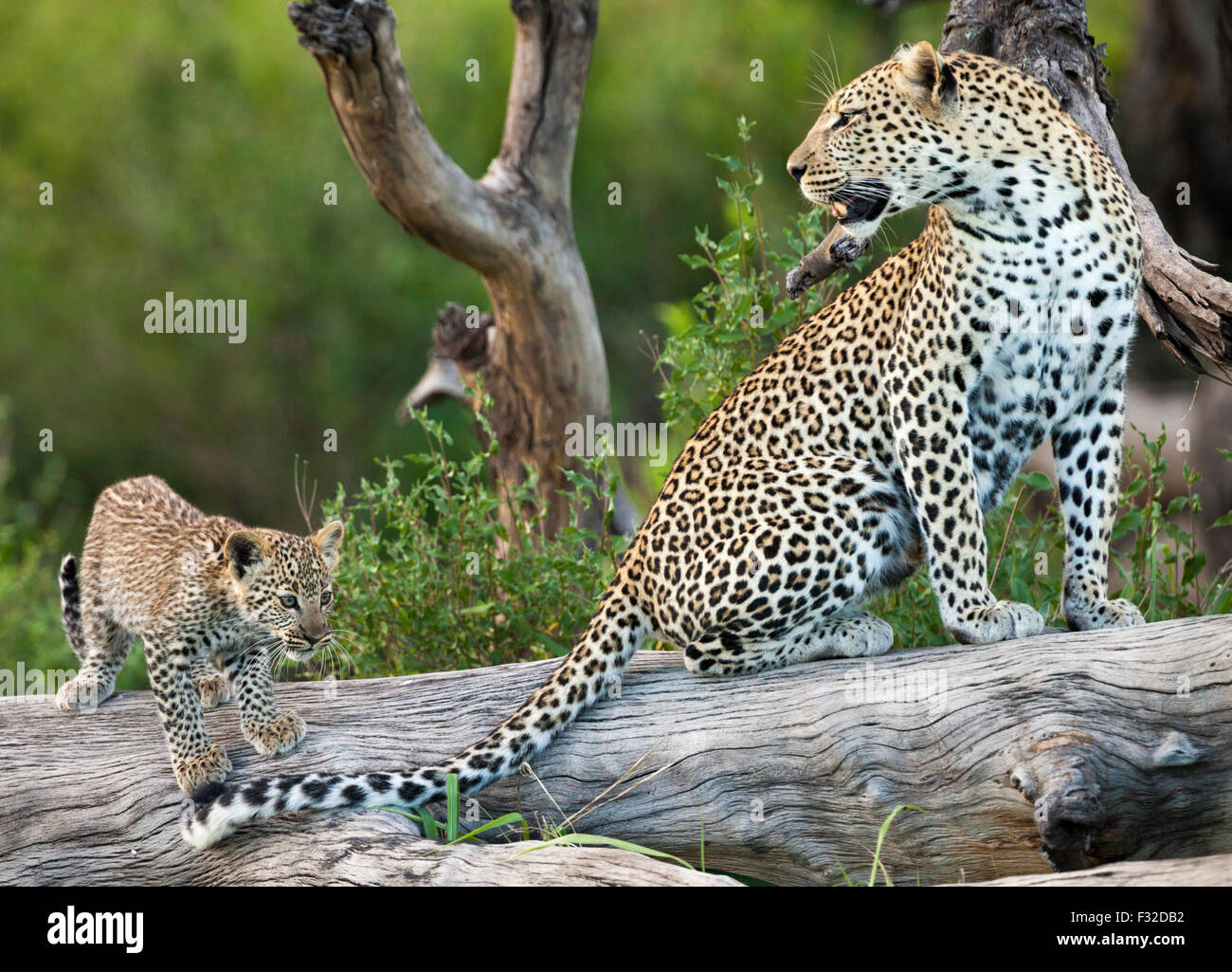 Mother and baby leopard perched on weathered log in Serengeti National Park, Tanzania - Stock Image