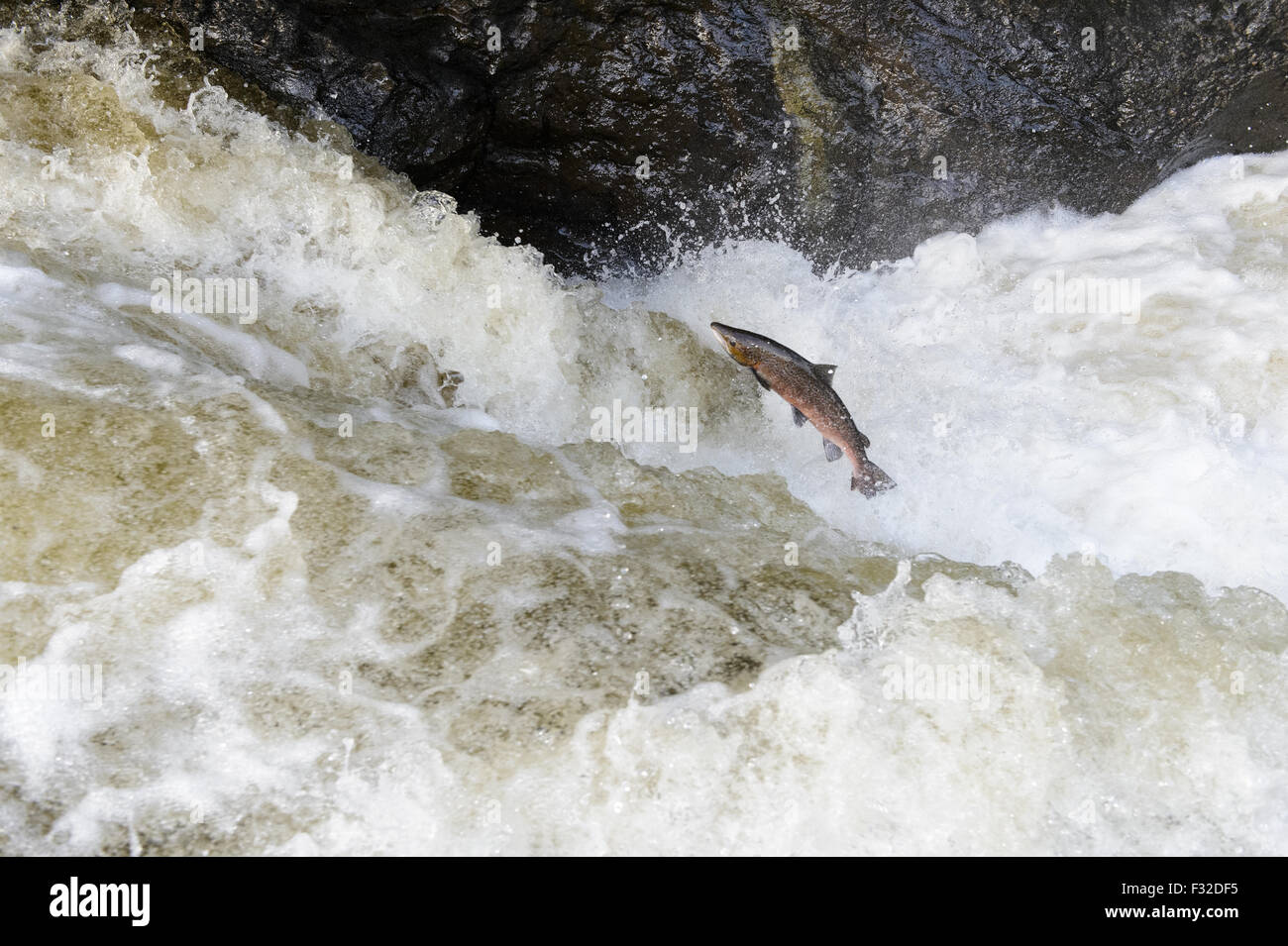 Atlantic Salmon (Salmo salar) adult, leaping up waterfall, moving upstream to spawning ground, Buchanty Spout, River - Stock Image