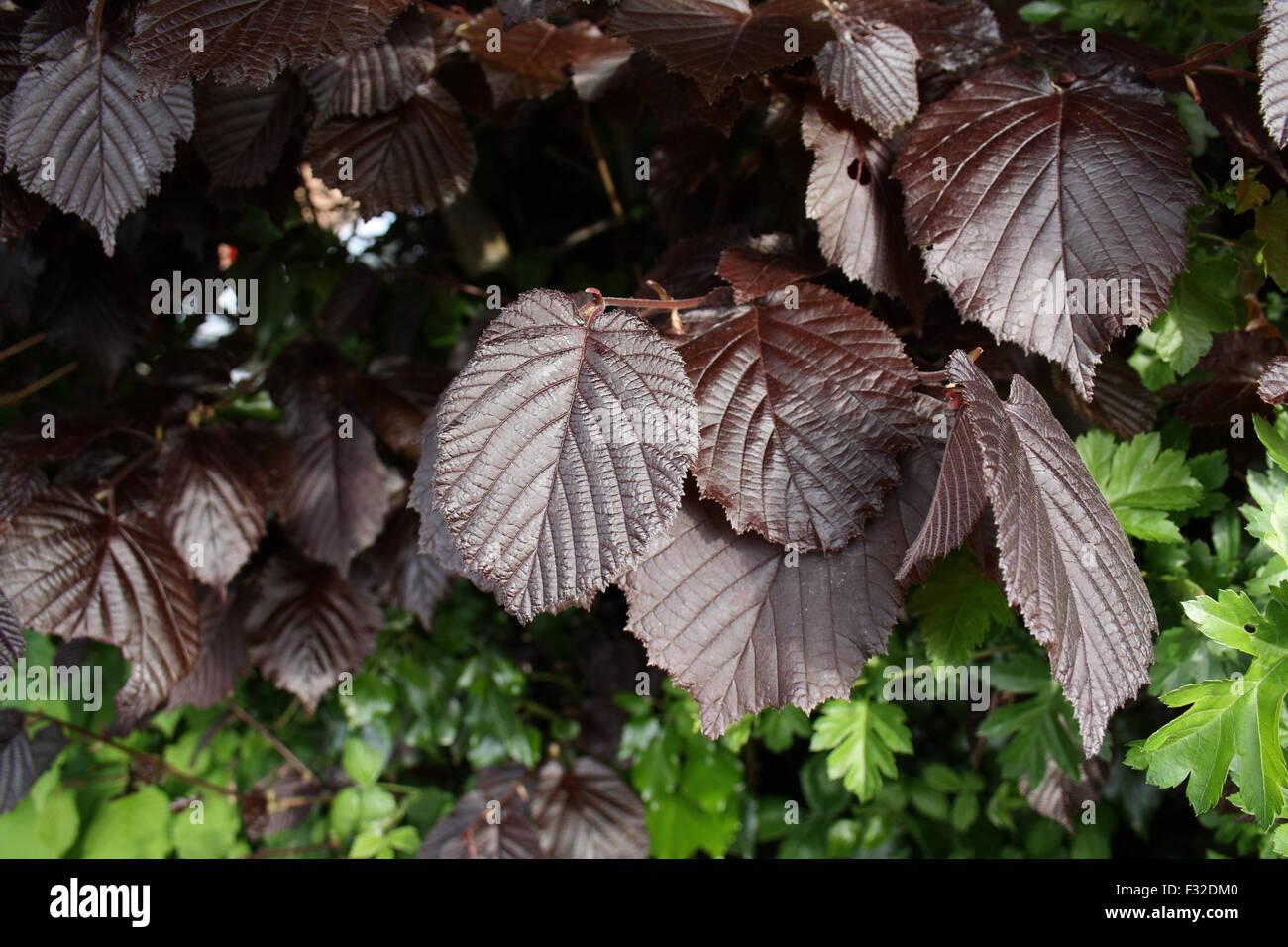 Filbert (Corylus maxima) 'Purpurea', close-up of leaves, growing in garden hedge, Mendlesham, Suffolk, England, - Stock Image