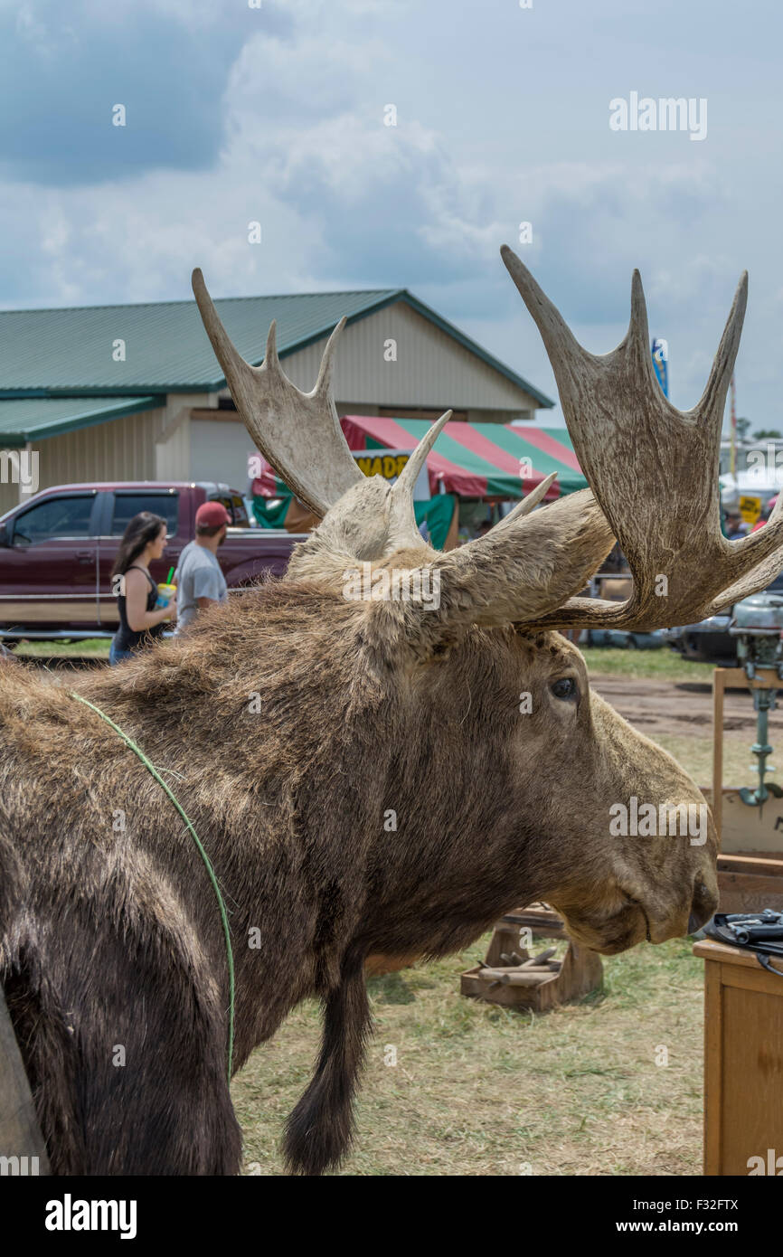 Mounted Moose head for sale at the Highway 127 Yard Sale in