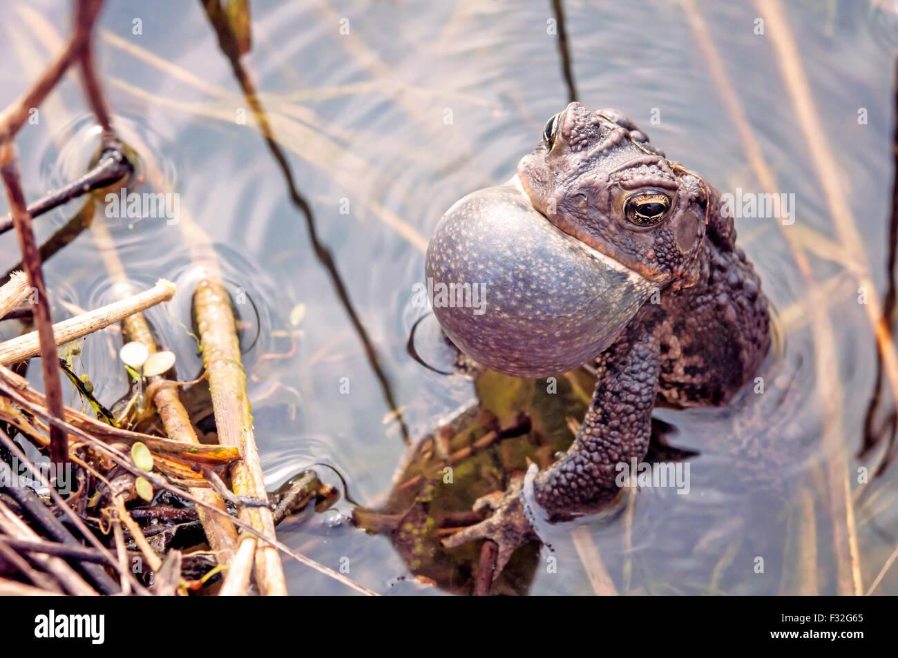 Bullfrog croaking in pond Stock Photo