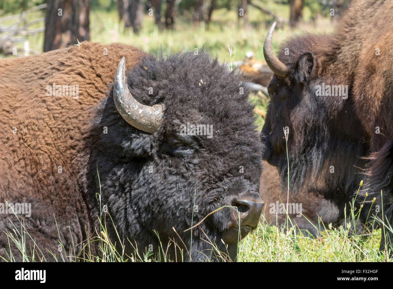 A bison, buffalo, in a field. Stock Photo