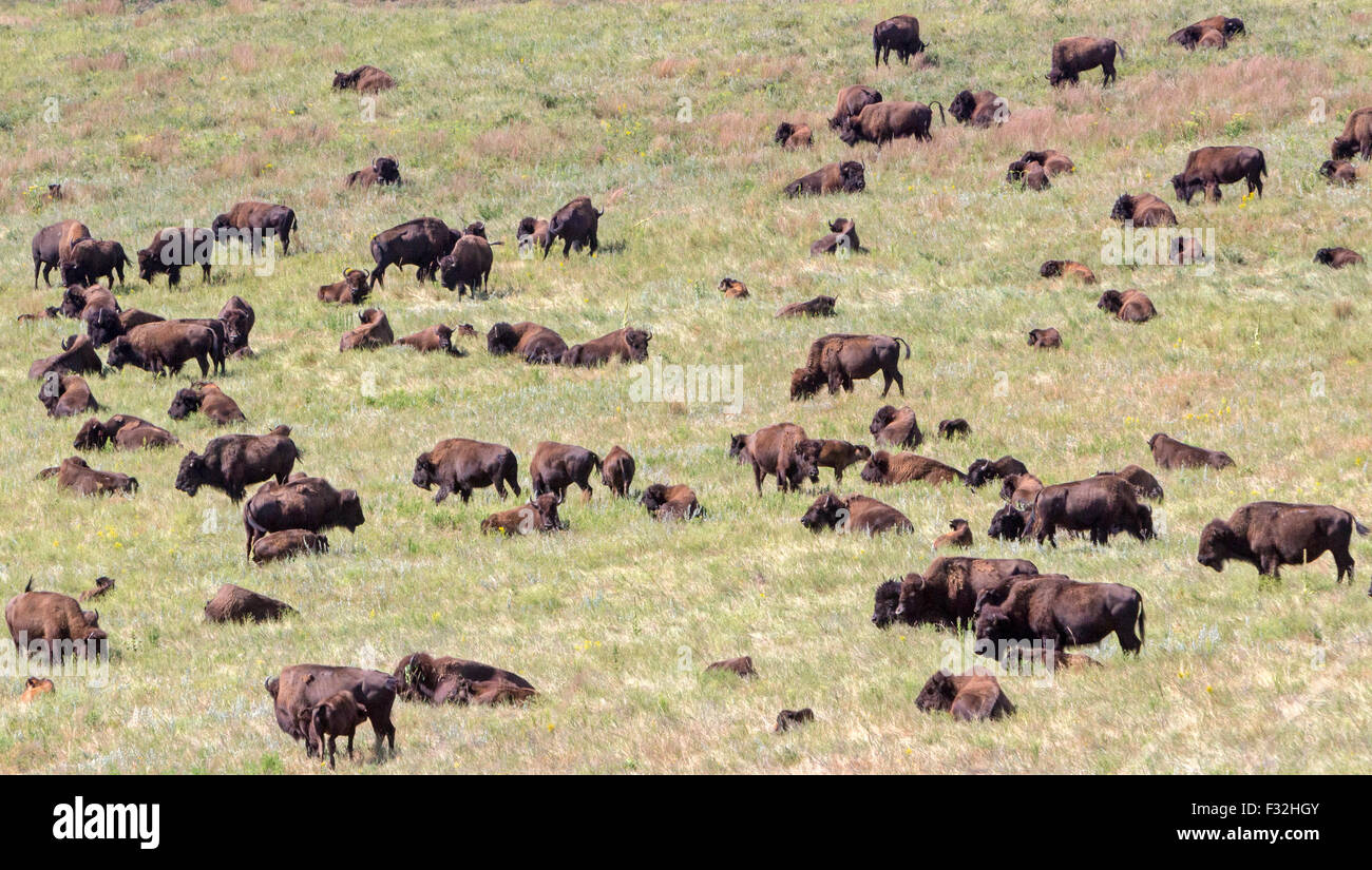 A bison, buffalo, in a field. - Stock Image