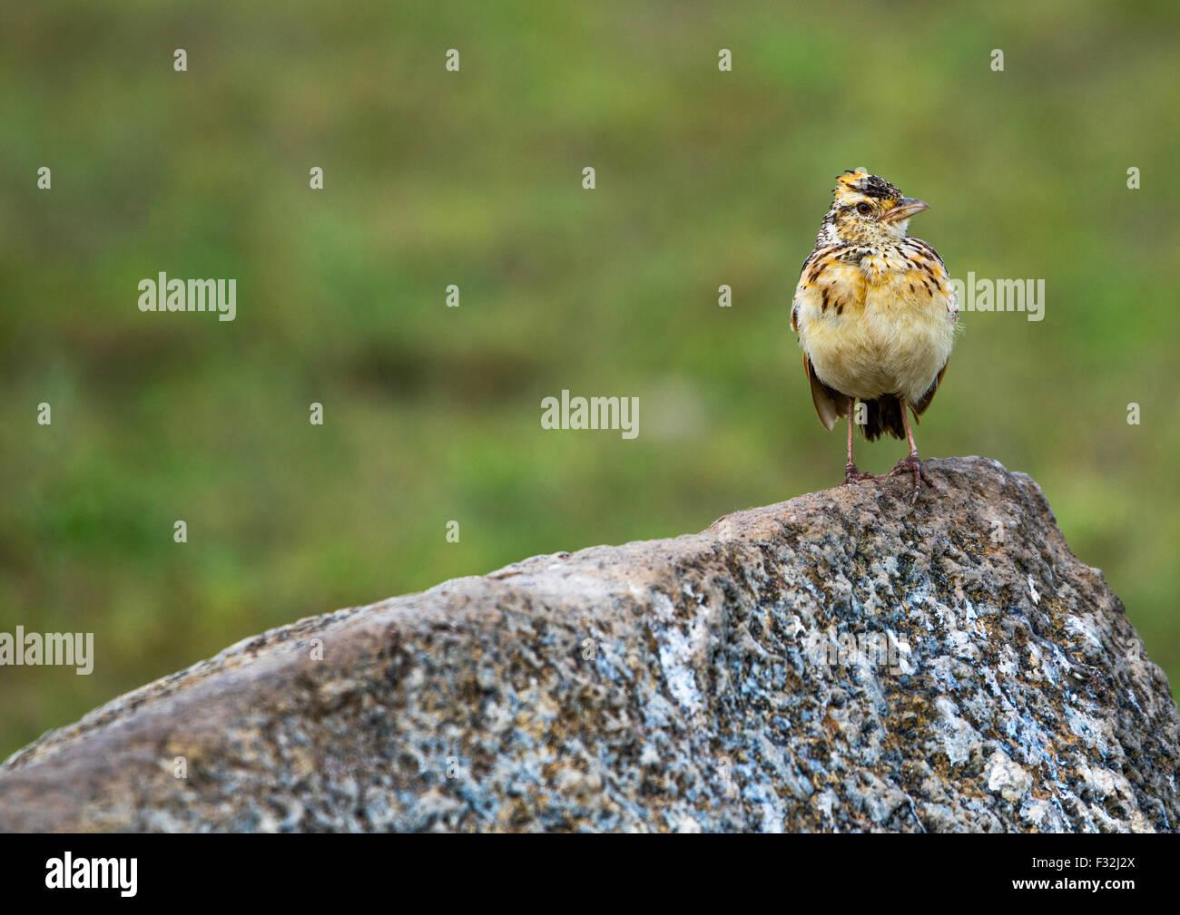 Tanzania, Mara, Serengeti National Park, rufous-naped lark (mirafra africana) on a rock Stock Photo