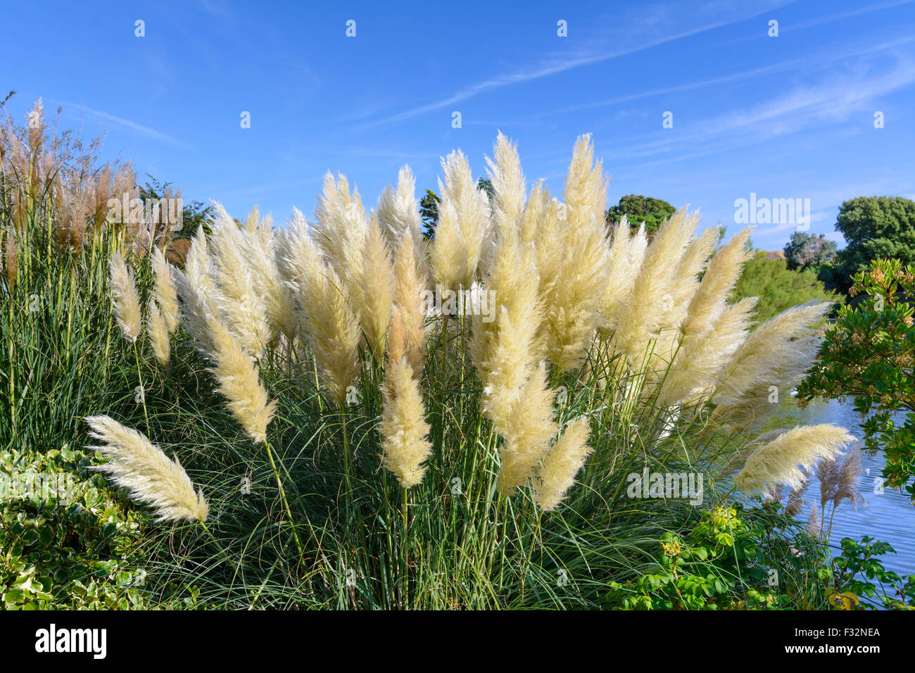 pampas grass stock photos pampas grass stock images alamy. Black Bedroom Furniture Sets. Home Design Ideas