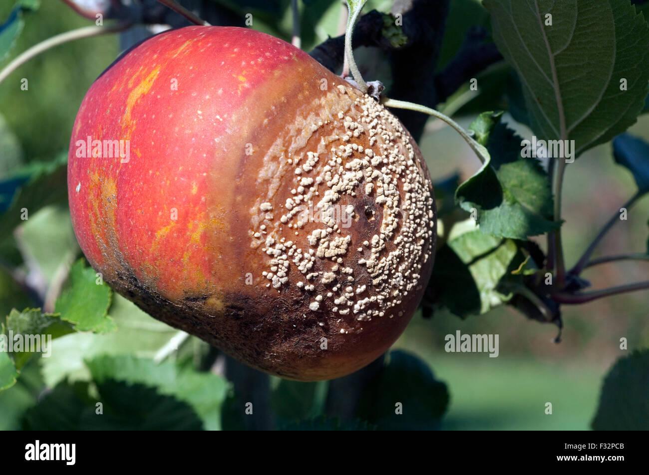 Boskoop, Apfelfaeule, faul, Faeule, Stock Photo