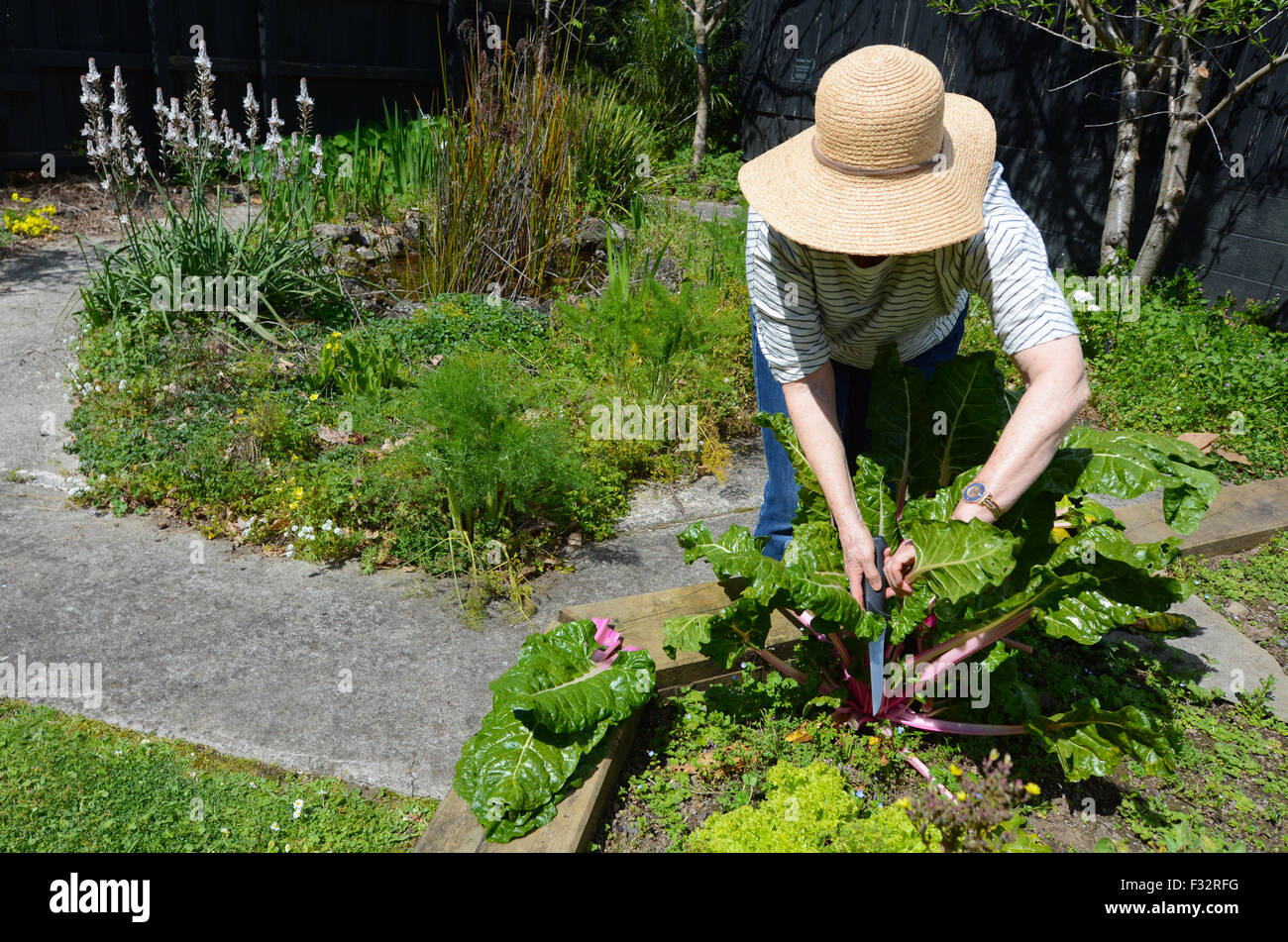 One mature woman (60s - 70s) wearing a hat cutting fresh Silverbeet plant working in the garden. - Stock Image