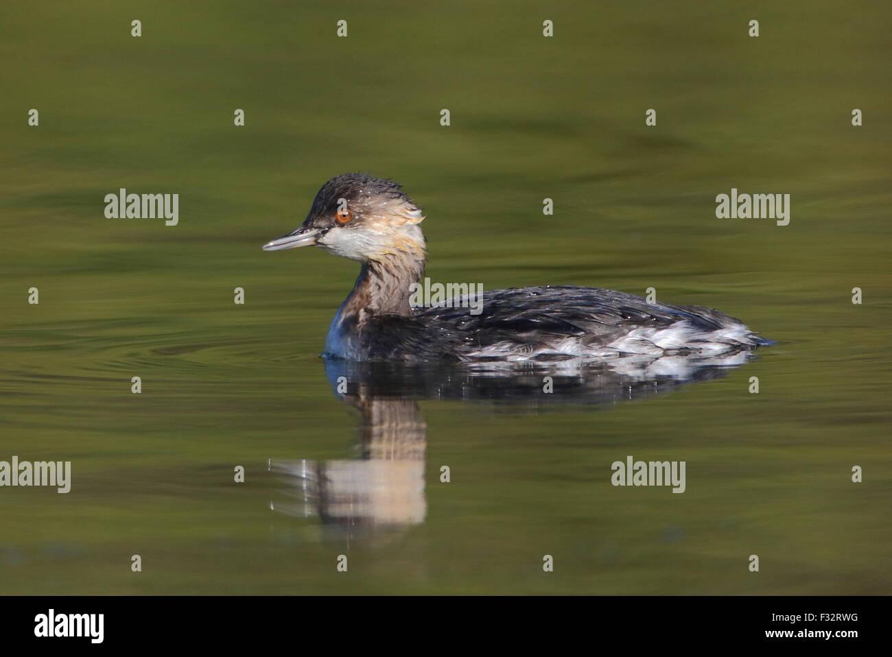 Black-necked Grebe - Stock Image