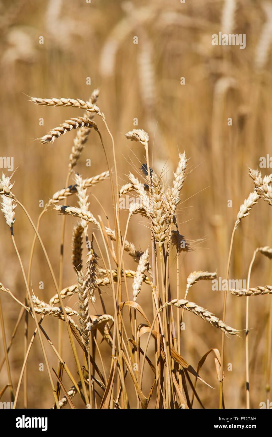 Moreland, Idaho - Idaho wheat field. - Stock Image