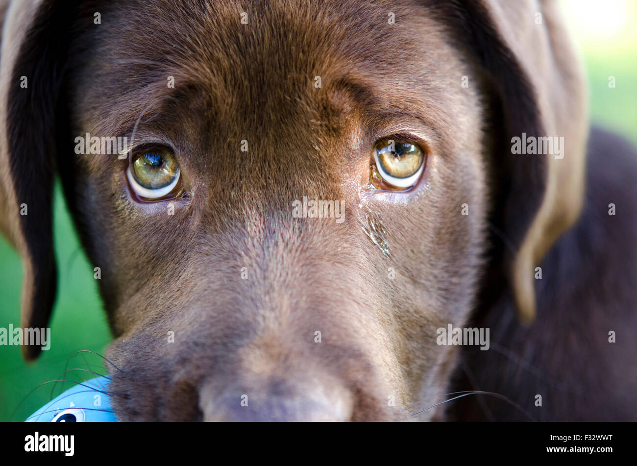 The soulful eyes of a young chocolate Labrador Retriever - Stock Image