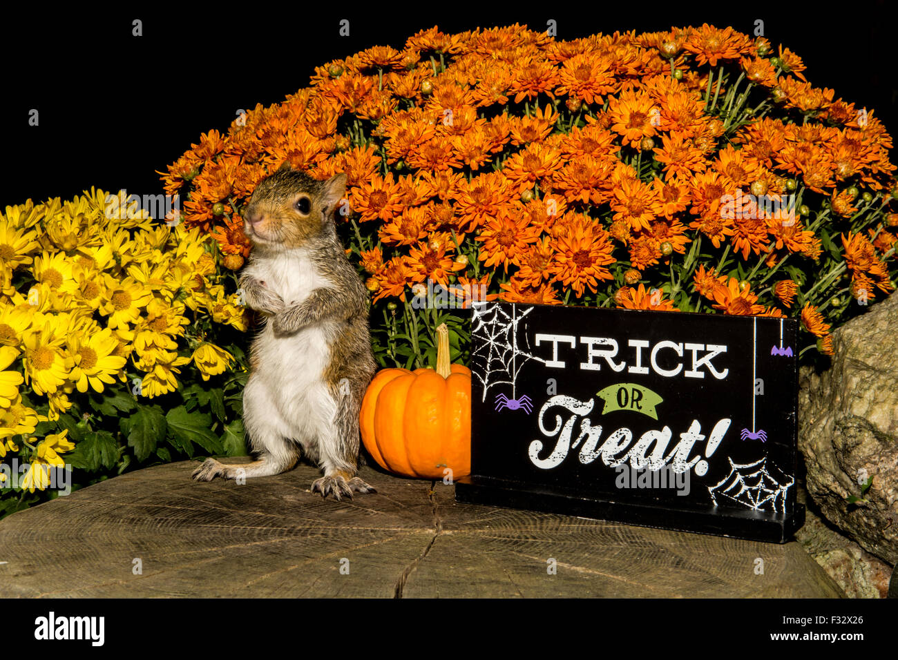 Halloween Squirrel Stock Photo