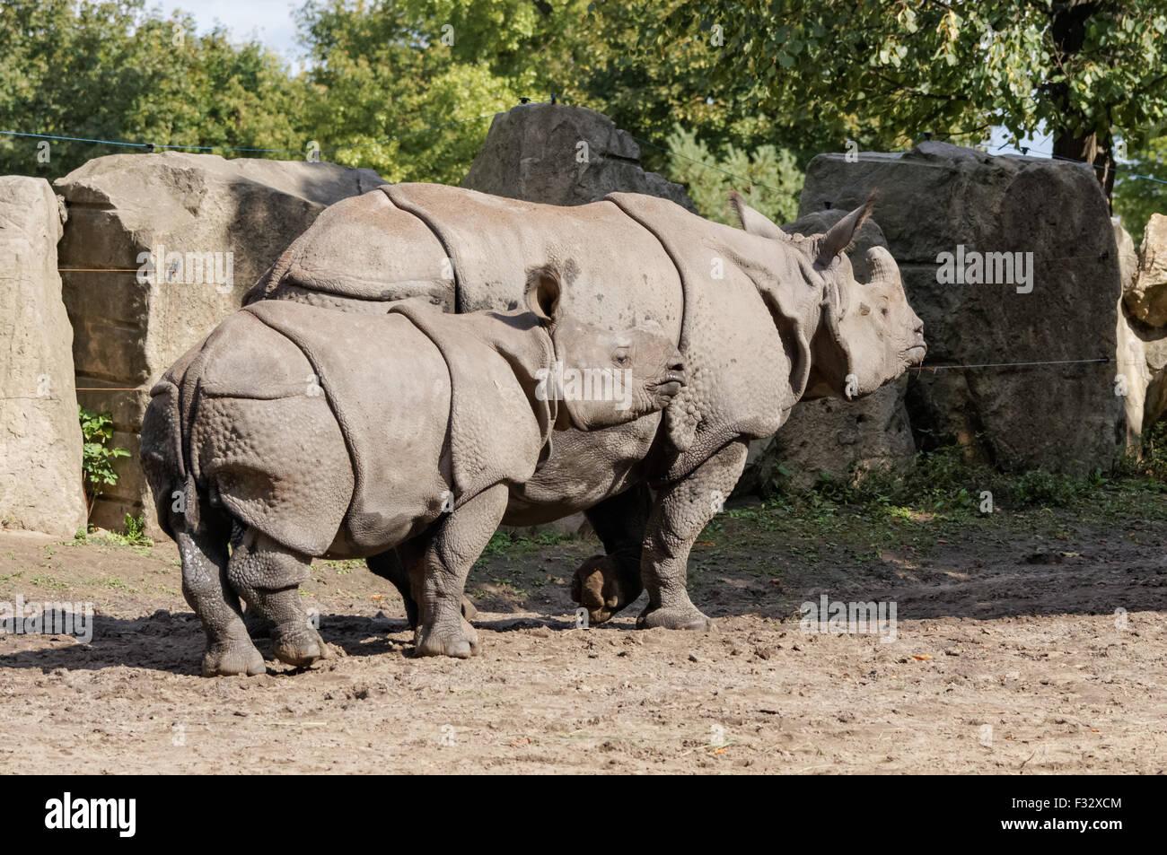 The Indian rhinoceros (Rhinoceros unicornis) at Warsaw Zoo, Poland - Stock Image