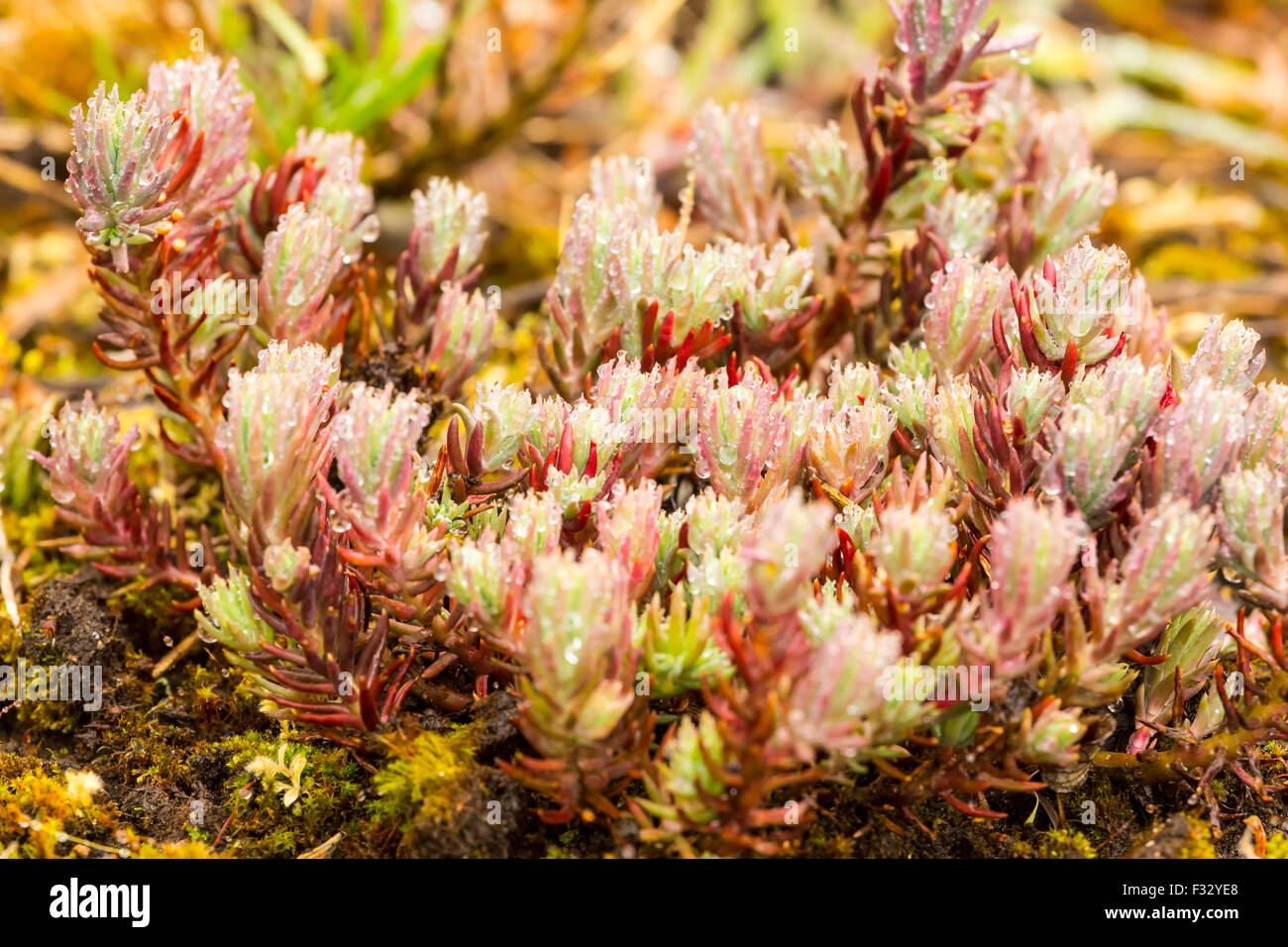 Glistening Pink plant with water globules - Stock Image