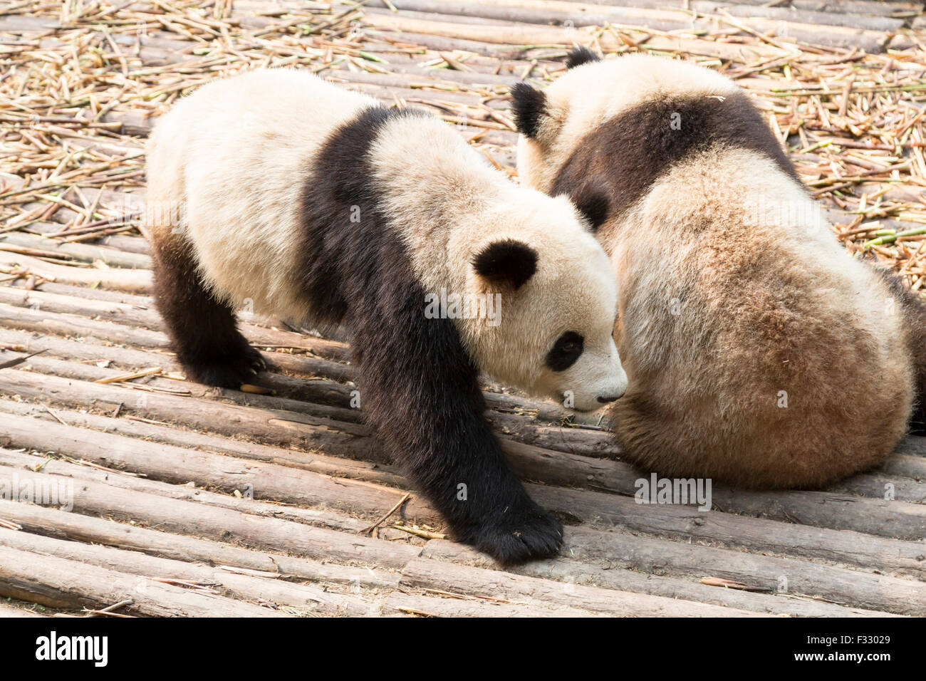 Giant Panda Bear - Stock Image