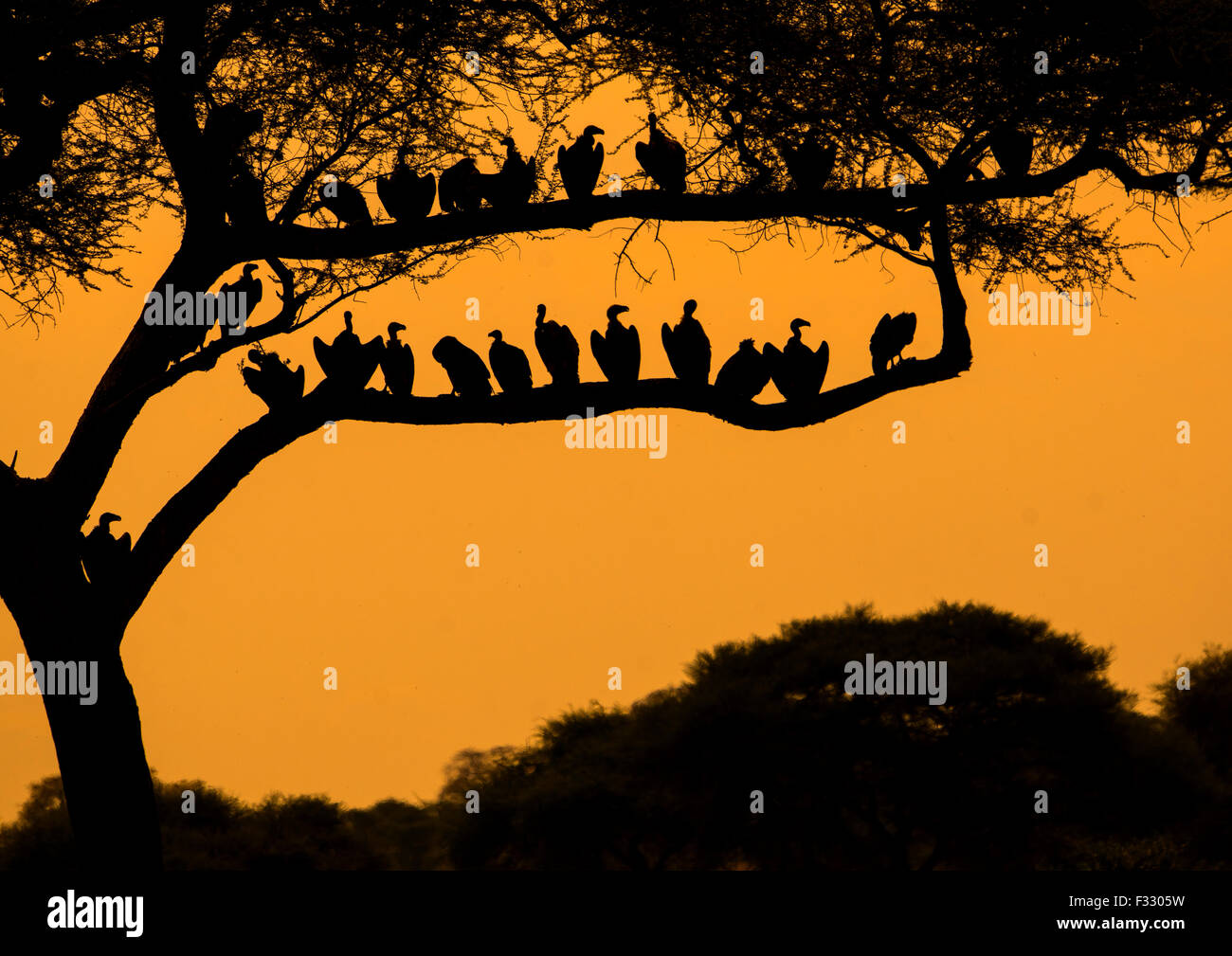 Tanzania, Karatu, Tarangire National Park, group of african white-backed vultures (gyps africanus) sitting in acacia - Stock Image