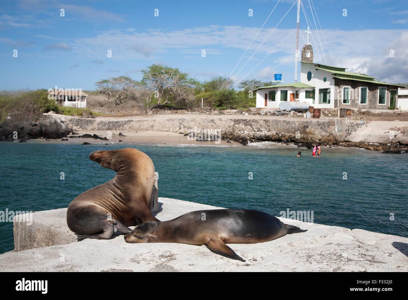 Galapagos Sea Lions (Zalophus wollebaeki) snoozing on the dock at Puerto Velasco Ibarra, Floreana Island - Stock Image