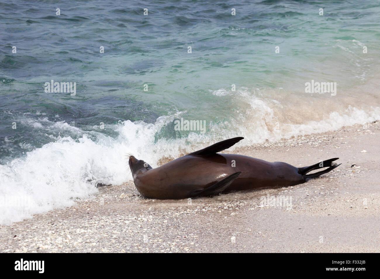 Galapagos Sea Lion (Zalophus wollebaeki) playing in shoreline surf - Stock Image