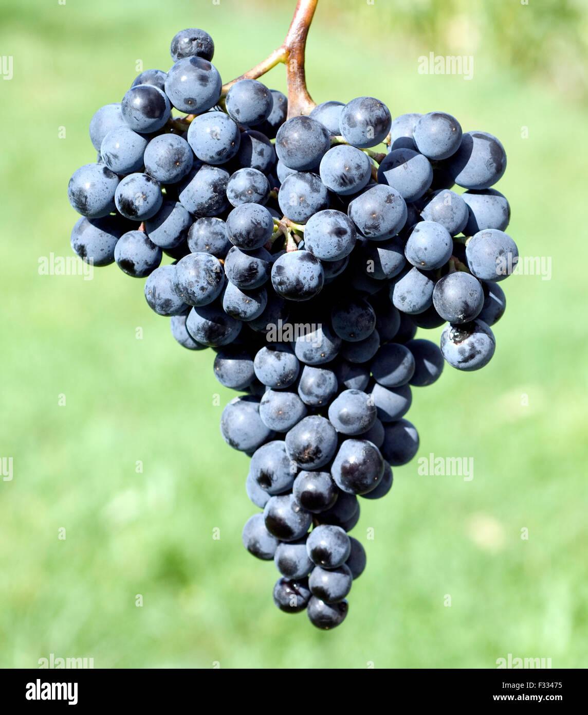 Dornfelder, Rotwein, Rote, Weintrauben, Stock Photo