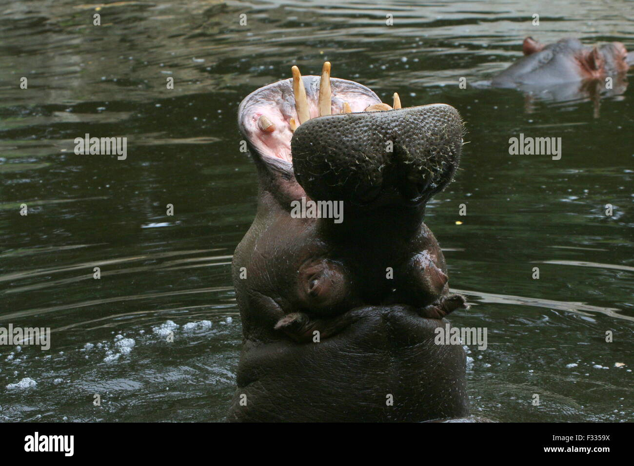 African Hippo (Hippopotamus amphibius) in close-up, rearing head up high out of the water - Stock Image