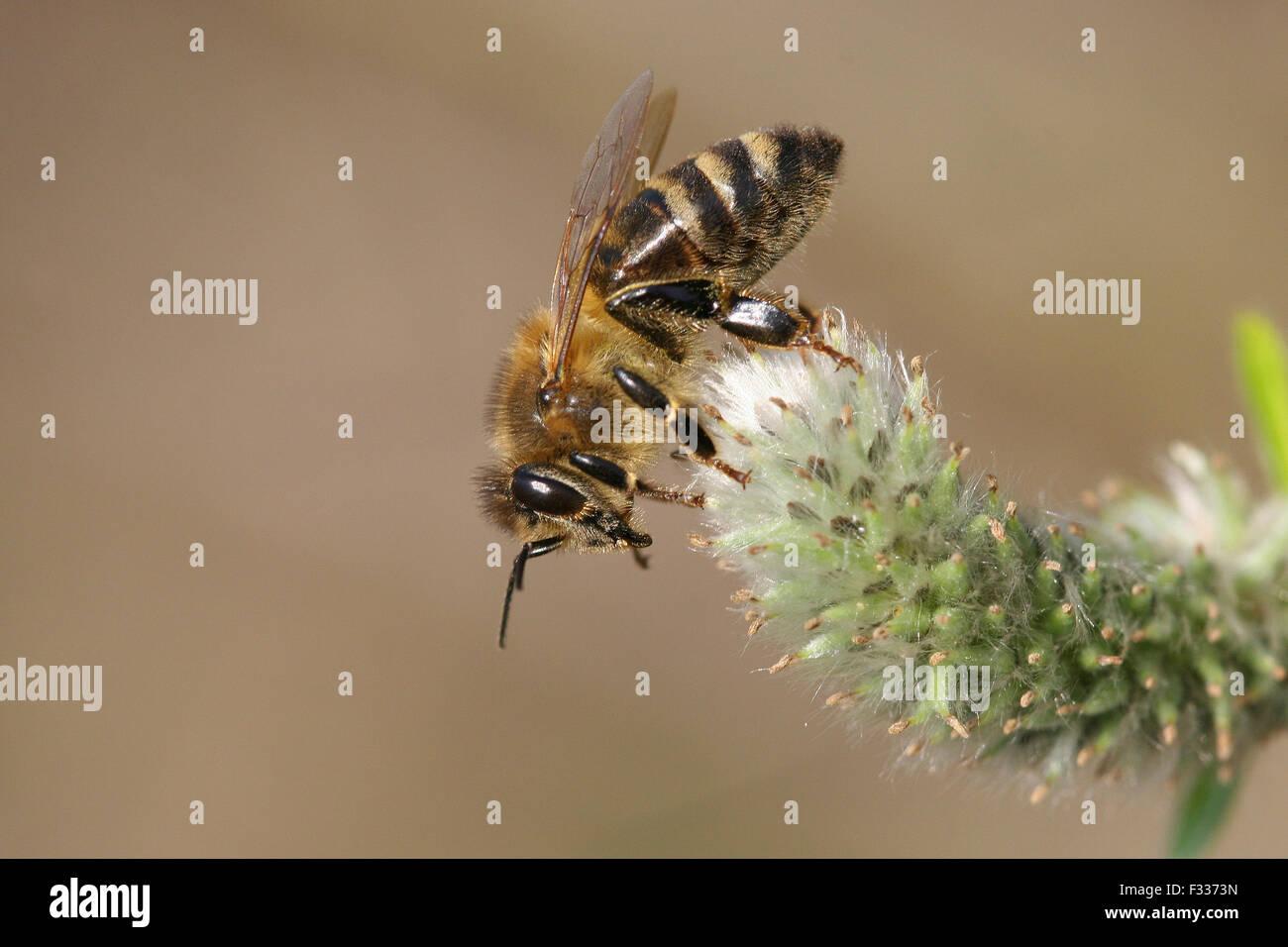 Western honey bee or European honey bee (Apis mellifera) on a goat willow flower (Salix caprea), Thuringia, Germany - Stock Image