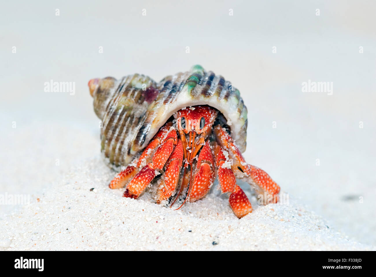 The image of Land hermit crab (Coenobita perlatus) in Karavatti island, Lakshadweep, India - Stock Image